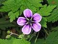 北方老鸛草 Geranium erianthum -英格蘭 Brockhole, England- (9200913968).jpg