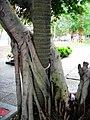 厦门市思明区景色-南普陀寺-树报树 - panoramio.jpg