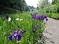 天子の水公園 菖蒲園 Tenshi no mizu park, Iris Garden - panoramio.jpg
