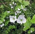 婆婆納屬 Veronica gentianoides Pallida -比利時 Leuven Botanical Garden, Belgium- (9227006073).jpg