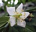 文定果(西印度櫻桃) Muntingia calabura -沖繩熱帶夢幻中心 Tropical Dream Centre, Okinawa- (9580317431).jpg
