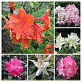 杜鵑花 Rhododendron cultivars -比利時 Leuven Botanical Garden, Belgium- (14622944739).jpg