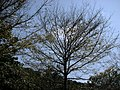 樹 - panoramio - Tianmu peter (1).jpg