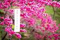 櫻花在臺灣臺中市大坑風景區 Cherry blossom - Sakura in Taichung City, TAIWAN.jpg