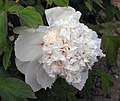 牡丹-金桂飄香 Paeonia suffruticosa 'Golden Osmanthus Fragrance' -菏澤曹州牡丹園 Heze, China- (12516907775).jpg