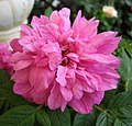 甘肅永登苦水玫瑰 Rosa sertata x rugosa -香港花展 Hong Kong Flower Show- (33676905492).jpg