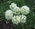 絨毛蓼屬 Eriogonum umbellatum -波蘭華沙 Powsin PAN Botanical Garden, Warsaw- (36396103722).jpg