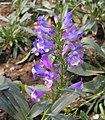 釣鐘柳屬 Penstemon barbatus -瀋陽植物園 Shenyang Botanical Garden, China- (9198166973).jpg