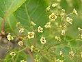 黃櫨 Cotinus coggygria -洛陽西苑公園 Luoyang Botanical Garden, China- (9216128092).jpg