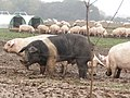 -2019-10-31 Free range pigs, Southrepps (2).JPG