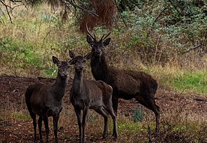 Barbary stag - A herd at Feija National Park