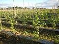 0203jfLandscapes Maronquillo Rice Vegetables Fields San Rafael Bulacan Roadsfvf 15.JPG