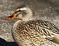 027 - MALLARD (Northern female) (12-5-2016) farmington, san juan co, new mexico -02 (31534889942).jpg