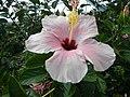 03601jfHibiscus rosa sinensis Philippinesfvf 27.JPG