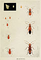 06-Indian-Insect-Life - Harold Maxwell-Lefroy - Dysdercus-cingulatus.jpg