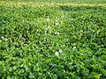 06339jfBarangay Eichhornia Flowers Pansinao Candaba Mount Arayat Pampanga Riverfvf 27.JPG