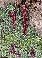 1024 Arktisch-alpiner Garten Chemnitz-0983.jpg