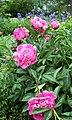 143. In the Pink Peonies (3557584766).jpg