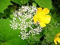 1471 - Nationalpark Hohe Tauern - Bugs on flowers.JPG