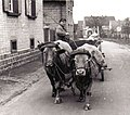 1956 Jakob Eller mit seinem Kuhfuhrwerk in der Thomasstraße.jpg