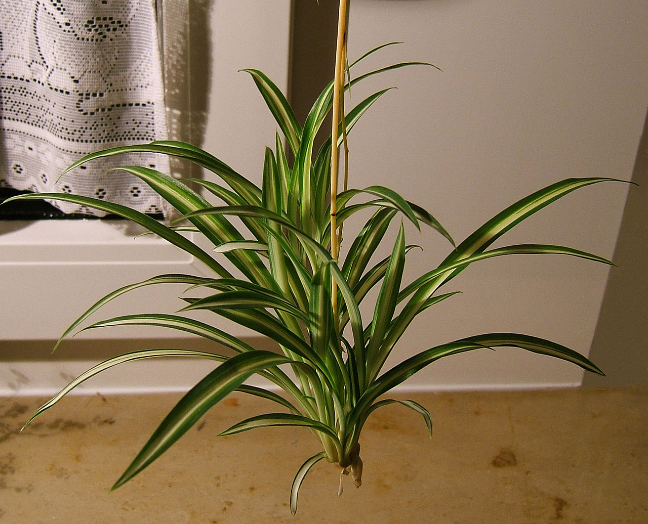 How To Grow Spider Plant Gardening With Charlie