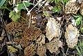2007-12-20 Morchella Dill. ex Pers 9470.jpg