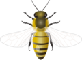 201109 honey bee.png