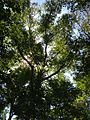 2013-08-25 12 02 54 Another view into the canopy towards some Paper Birches near 50 Ridge Road at Spring Lake in Berlin, New York.jpg