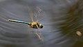 2013.07.07.-2-Drosedow-Glaenzende Smaragdlibelle-Maennchen im Flug.jpg