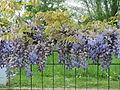 20140420Wisteria floribunda1.jpg