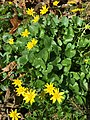 2015-04-12 11 23 46 Lesser celandine blooming on Terrace Boulevard in Ewing, New Jersey.jpg
