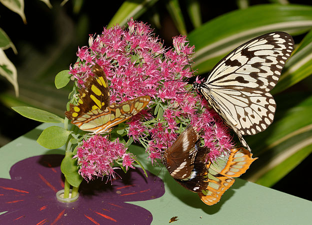 2015-10-24 13-03-53 papillon-hunawihr.jpg