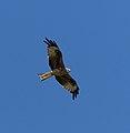 2015.07.07.-03-Mulde Eilenburg--Rotmilan im Flug.jpg
