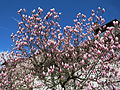 20150402Magnolia x soulangeana1.jpg
