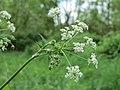 20150507Anthriscus sylvestris1.jpg