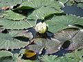 20150911Nymphaea alba2.jpg