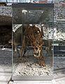 2015 Jaskinia Niedźwiedzia w Kletnie, szkielet niedźwiedzia jaskiniowego 03.JPG