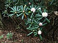 2016-07-25 16 19 29 Rosebay Rhododendron blooming along the Blue Ridge Parkway in Deep Gap, Yancey County, North Carolina.jpg