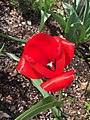2017-03-28 15 25 36 Red Oxford Tulip blooming along Tranquility Court in the Franklin Farm section of Oak Hill, Fairfax County, Virginia.jpg