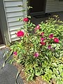 2017-05-10 15 36 49 Rose bush blooming along Tranquility Court in the Franklin Farm section of Oak Hill, Fairfax County, Virginia.jpg