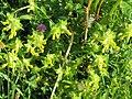 2018-05-13 (150) Rhinanthus alectorolophus (yellow rattle) at Bichlhäusl in Frankenfels, Austria.jpg
