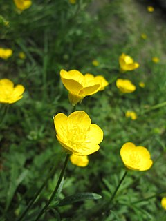 <i>Ranunculus bulbosus</i> Species of flowering plant in the buttercup family Ranunculaceae