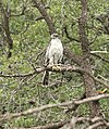 218 - NORTHERN GOSHAWK (7-26-2018) upper humboldt canyon, patagonia mts, santa cruz co, az -01 (29821451928).jpg
