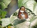 317雌紅紫蛺蝶2(邱美蘭攝) (19047634861).jpg