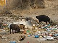 3397- Pigs and cows in the garbage (57705417).jpg