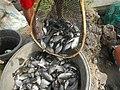 5798Isla Babatnin Malolos Bulacan Harvesting Fishes 25.jpg