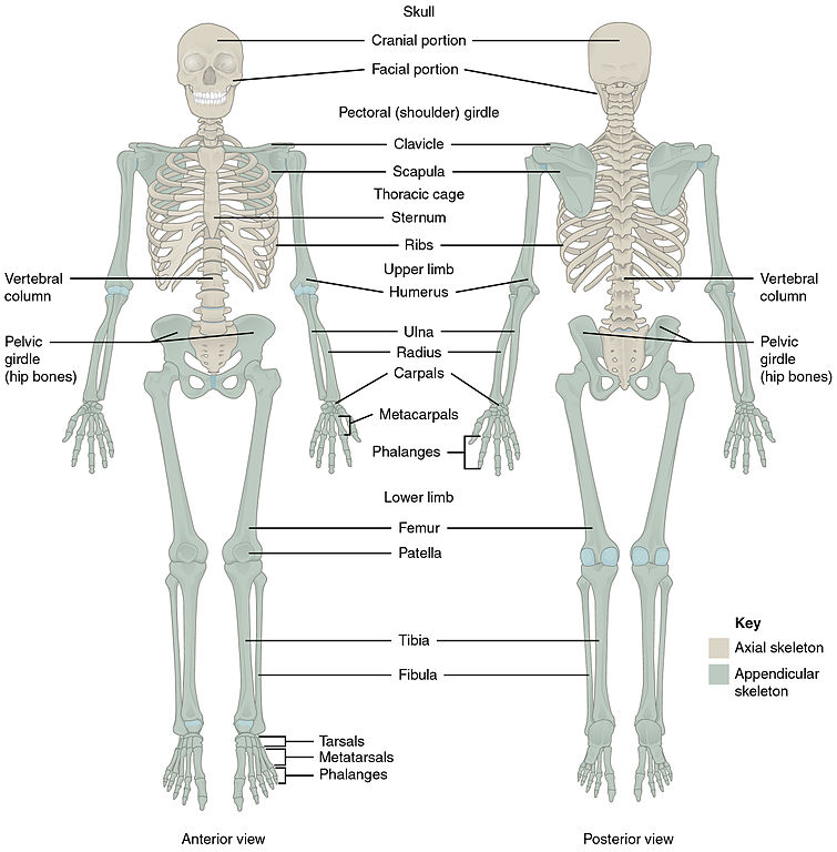 File701 Axial Skeleton 01g Wikimedia Commons