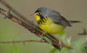 Canada warbler - Male