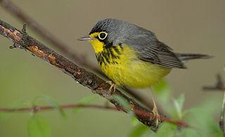 Canada warbler species of bird