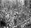 93rd division bougainville 1944.jpg